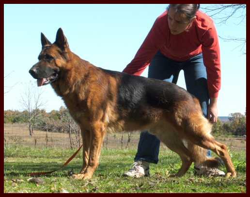 German Shepherd Breeders - Dierks vom Haus Winheim German