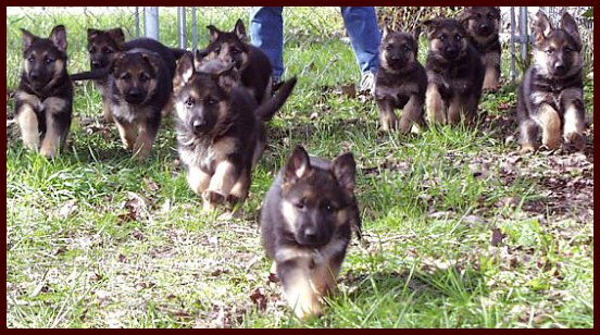 a large litter of German Shepherd Puppies at play