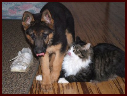 German Shepherd female puppy playing with her kitten friend